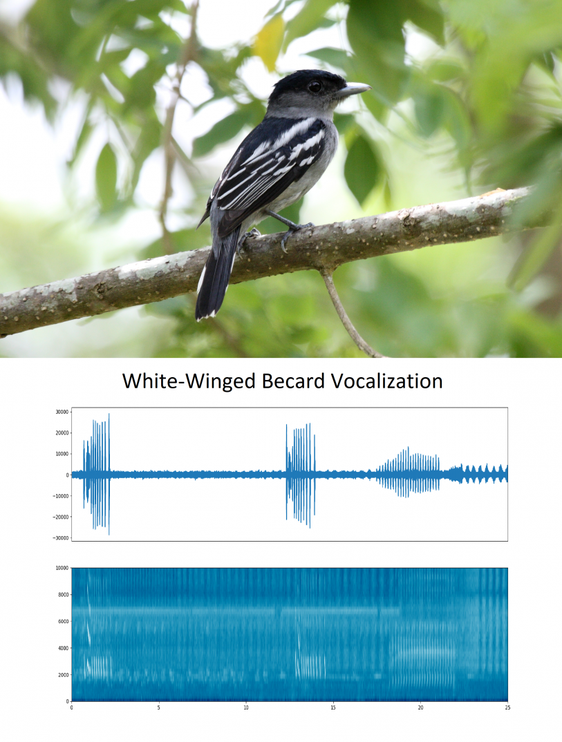 Diagram showing the vocalization of the White-Winged Becard