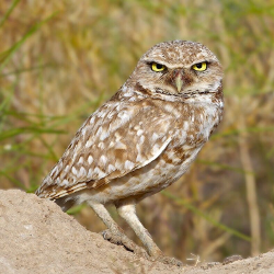 Burrowing Owl Behavior Classification